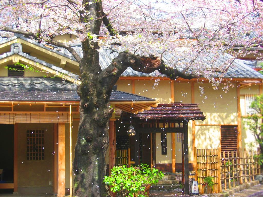 Kirschblüten vor einem Teehaus im Ueno Park, Tokio