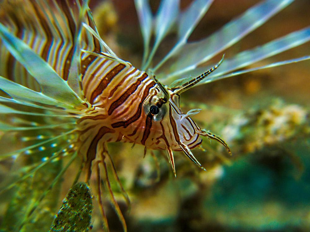 Rotfeuerfisch Iriomote