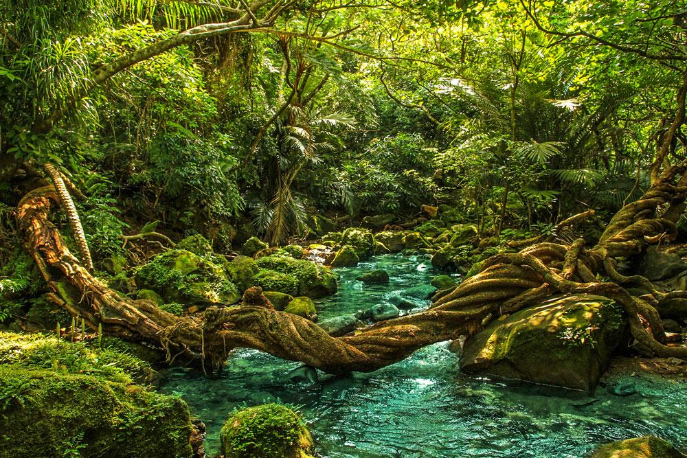 Iriomote-Dschungel