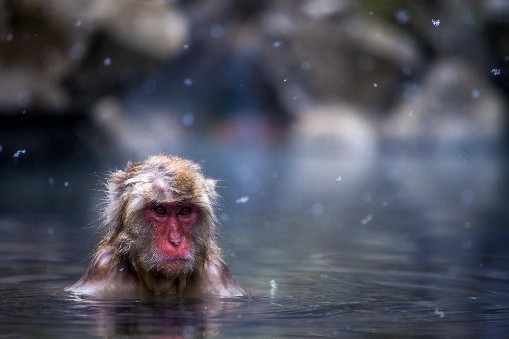 Makakenaffe in Onsen