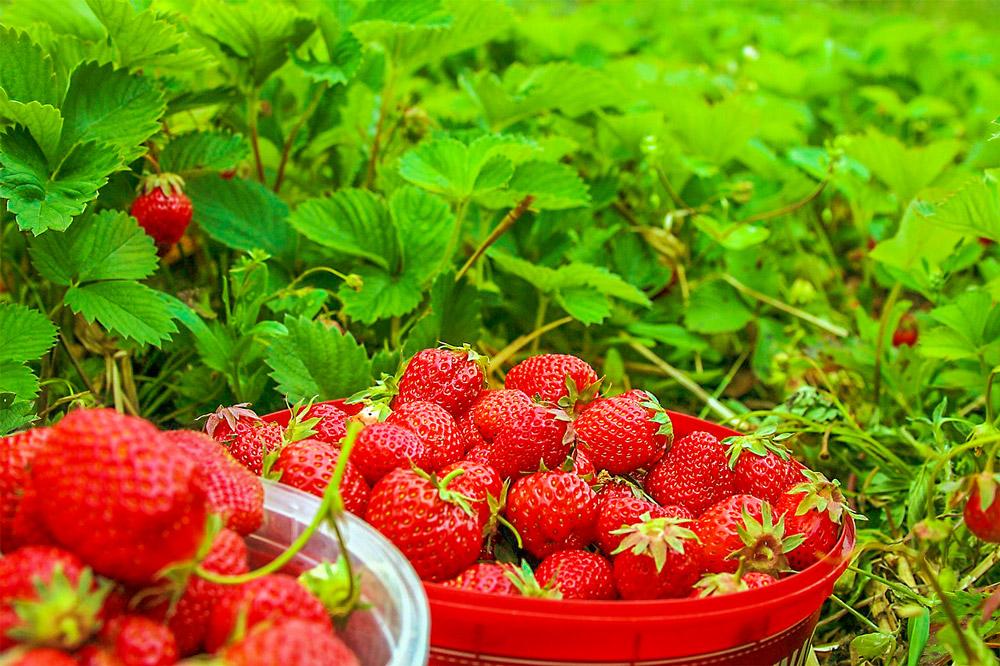 frische erdbeeren zum mittsommer